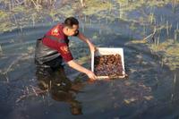 黄陵县小龙虾游入龙乡大池塘